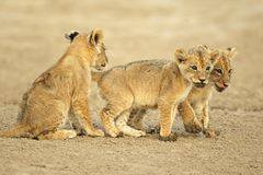 当幼童军逗人喜爱的狮子 库存图片