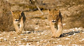 当幼童军围绕他们的狮子 免版税库存图片