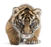 当幼童军panthera sumatrae sumatran老虎底格里斯河 免版税图库摄影