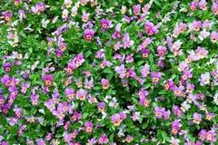 当庭院花耕种的蝴蝶花植物 中提琴蝴蝶花在庭院里 秀丽本质 库存图片
