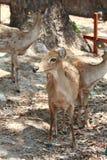当心咆哮的鹿 免版税库存照片