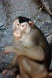 当心短尾猿猴子 免版税图库摄影