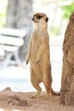 当心Meerkat :站立和注意危险的Meerkat 库存图片