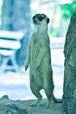 当心Meerkat 库存图片