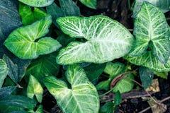 当房子植物(室内植物鬼臼属cv '白色蝴蝶')经常增长的Nephthytis的美丽的叶子 免版税库存图片