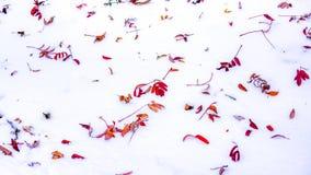 当明亮的斑点在城市停放,有五颜六色的秋天的清楚的白色雪地毯烘干叶子 第一个雪风景 留下红色 库存图片