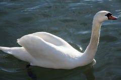 当游泳在crysta时,特写镜头从一只美丽的白色天鹅射击了 免版税库存图片