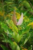 当秋天接近这颗牛奶杂草植物` s两种子荚保持平衡到开放的密执安美国 库存图片