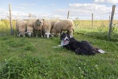 当绵羊挤作一团时,博德牧羊犬回顾与停留的舌头 免版税库存图片