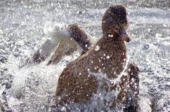当野鸭洗苍劲的浴,水飞行 库存照片