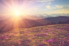 当雪在山背景在阳光下,下降第一开花的春天的领域开花番红花 免版税库存照片