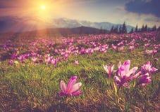 当雪在山背景在阳光下,下降第一春天开花番红花 库存照片