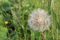 当风吹时,蒲公英花是白色和蓬松的与准备好成熟的种子飞行  免版税库存图片
