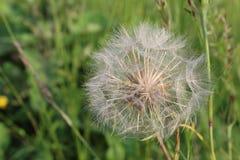 当风吹时,蒲公英花是白色和蓬松的与准备好成熟的种子飞行  库存照片