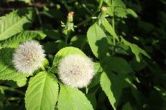当风吹时,蒲公英花是白色和蓬松的与准备好成熟的种子飞行  免版税图库摄影