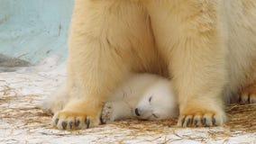 当他睡觉时,极性她熊关心她的崽 免版税库存图片