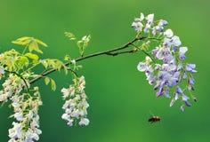 当紫藤开花时,蜂来未被邀请 免版税图库摄影