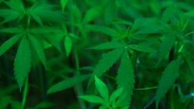 录影大麻的大麻漂白亚麻纤维的相似的植物 股票录像