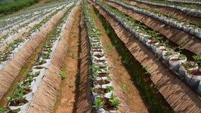 录影美丽的绿色草莓有机农场和蓝天使自然室外背景环境美化 影视素材