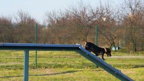 录影训练狗达克斯猎犬在训练区域 影视素材
