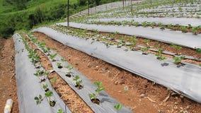 录影迷离美丽的绿色草莓有机农场和蓝天使自然室外背景环境美化 股票录像