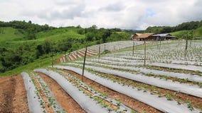 录影迷离美丽的绿色草莓有机农场和蓝天使自然室外background1环境美化 股票录像