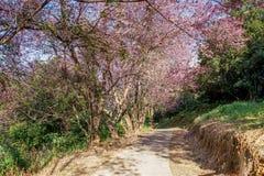 形成在路的桃红色SakuraWild喜马拉雅樱桃树一个隧道在Khunwang,Chiangmai,T 免版税库存照片