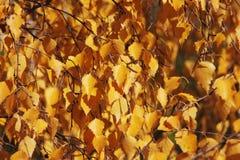 形成背景的桦树叶子 免版税库存照片