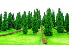 形状的杉树在一个耕种的庭院里 库存图片
