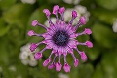 形象的Osteospermum花是自然对称 免版税库存照片