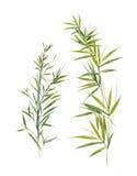 水彩例证竹叶子,在白色背景 皇族释放例证
