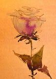 水彩剪影:在白色的桃红色玫瑰色芽 库存照片