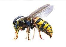 水彩唯一黄蜂昆虫动物 皇族释放例证