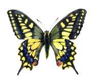 水彩唯一Machaon蝴蝶昆虫 皇族释放例证