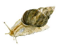 水彩在白色背景的蜗牛例证 Achatina骨顶属 免版税库存照片