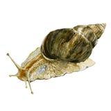 水彩在白色背景隔绝的蜗牛例证 Achatina骨顶属 免版税库存照片