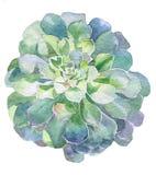 水彩多汁植物植物 免版税库存照片