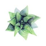 水彩多汁植物 顶视图 免版税库存照片