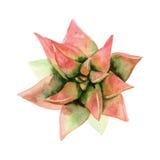 水彩多汁植物 顶视图 库存照片