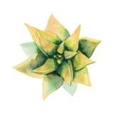 水彩多汁植物 顶视图 图库摄影