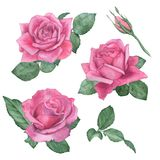 水彩套玫瑰 图画递她的温暖的妇女年轻人的早晨内衣 免版税库存照片
