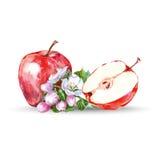 水彩手拉的红色苹果 在白色背景的被隔绝的eco自然食物果子例证 向量 图库摄影