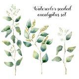 水彩播种了玉树集合 与在白色和分支的手画花卉例证隔绝的银叶 免版税库存图片