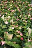 彩斑芋植物 免版税图库摄影