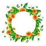 水彩春天开花的分支,蒲公英开花,在白色背景隔绝的开花圆的框架 皇族释放例证