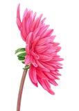 水彩桃红色大丽花 多汁植物的板材-离开仙人掌、仙人掌和柱仙人掌仙人掌 名片的模板,横幅,海报,飞行物,笔记本,化妆用品,香水 向量例证