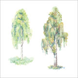 水彩桦树 库存图片
