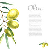 水彩橄榄树枝背景 库存图片