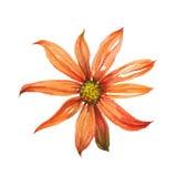 水彩橙色雏菊 免版税库存图片