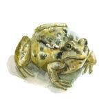 水彩池蛙 库存图片